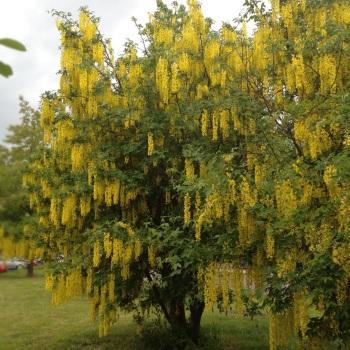 Gullregn i regn
