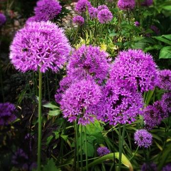 Purple Senstation
