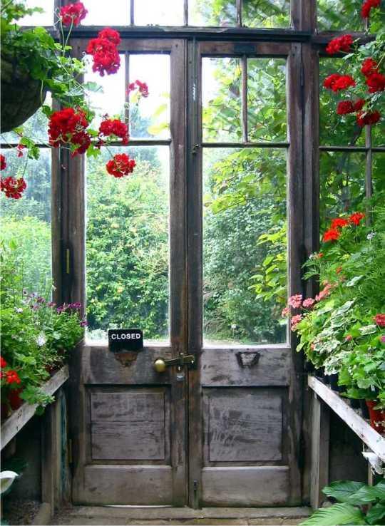 Gammalt växthus med pelargoner