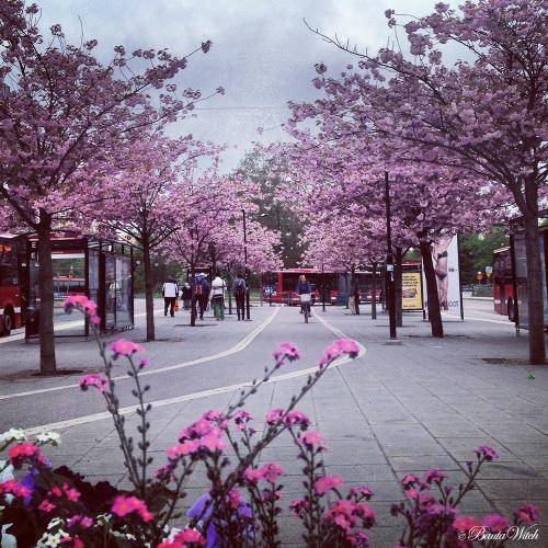 Ett magiskt vackert rosa Solna Centrum