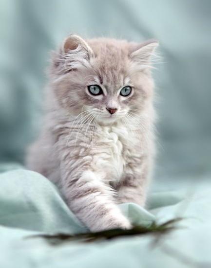 Grå kattunge