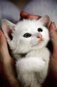 Grön ögd kattunge