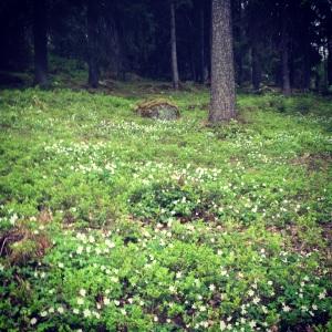 Vitsippor i skogsbacke