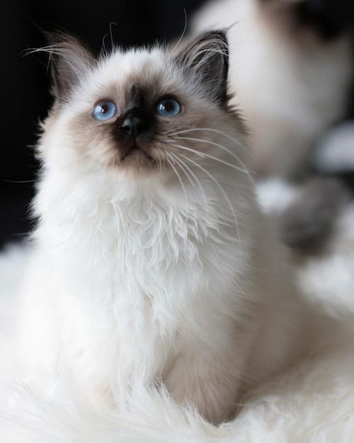 Vit kattunge2