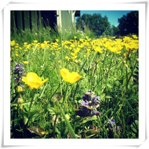 Blå o gul gräsmatta på Nationaldagen