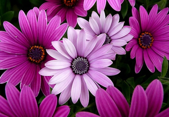 Purple-Pink-Aster