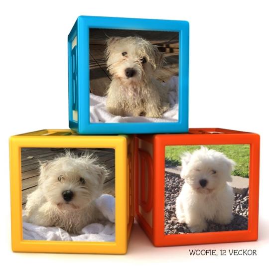 Woofie-12-veckor