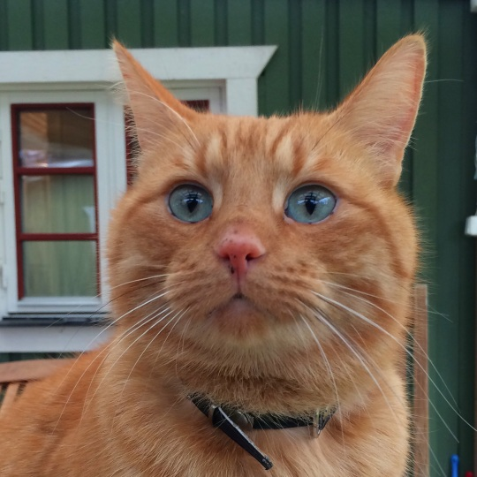Firre, vår vackra katt
