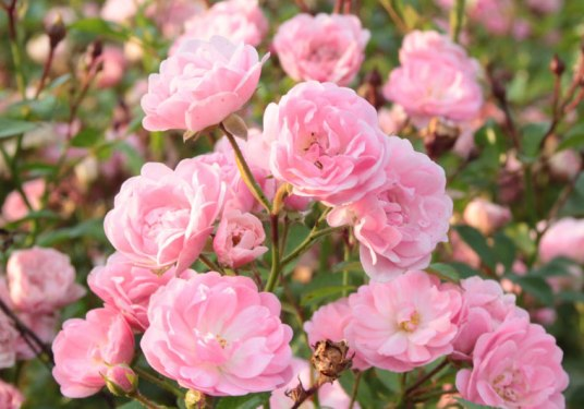 the-fairy-rose